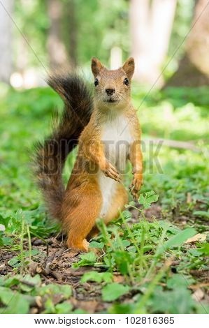 The photo shows a squirrel. Squirrel eats a nut.
