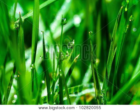 Morning Dew Drops On Green Grass Leaves