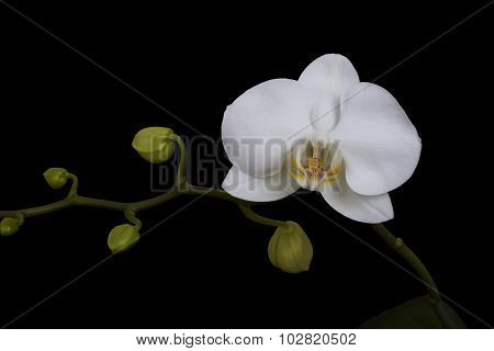 White flower of Orchid. Isolated black