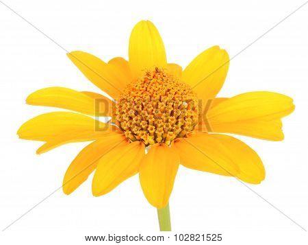 Yellow gerbera flower.