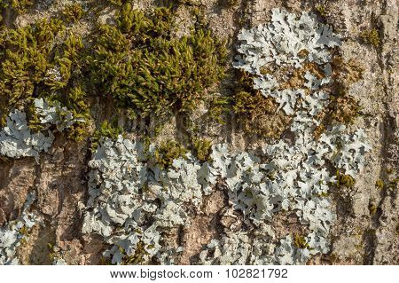 Tree bark with moss and lichen texture