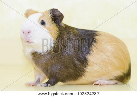 Guinea Pig Pet Animal On Yellow