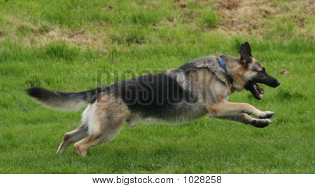 German Shepherd In Flight