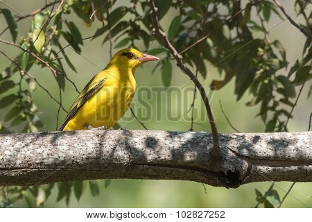 African Golden Oriole (oriolus Auratus) Perched On A Branch