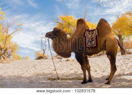 Camel Standing In The Desert