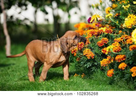 adorable rhodesian ridgeback puppy outdoors