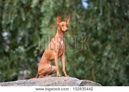 cirneco dell etna dog outdoors