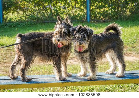 Two Black And Silver Miniature Schnauzer Dogs Standing