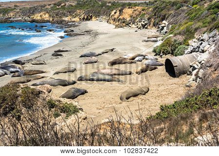 Elephant seals on the beach, California