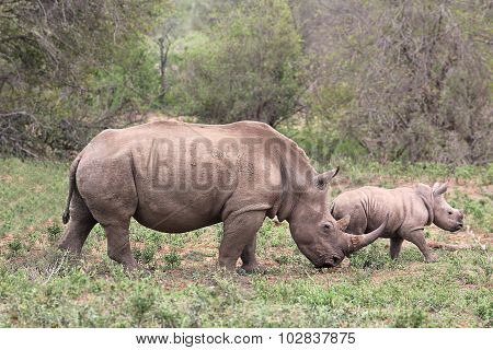 A Female Rhino / Rhinoceros Protecting Her Calf