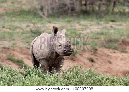 A Cute Baby Rhino In The Wild