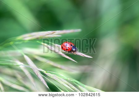 Red ladybug on a grass