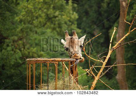 Photo Of Rothschild's Giraffe Eating Sraw With Stick Out Tongue