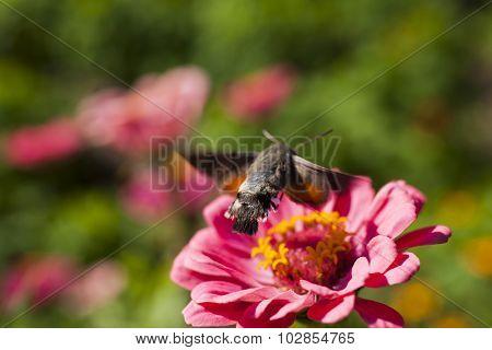 Hyles On A Flower