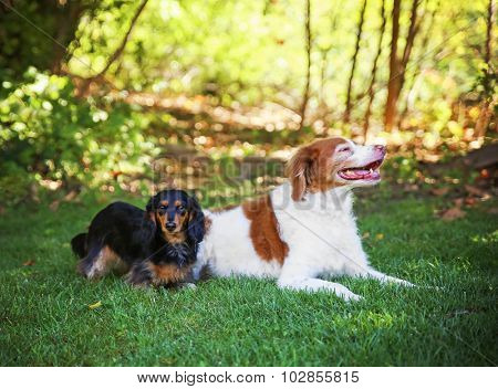 a brittany spaniel smiling and long haired dachshund looking at the camera in a local park during summer