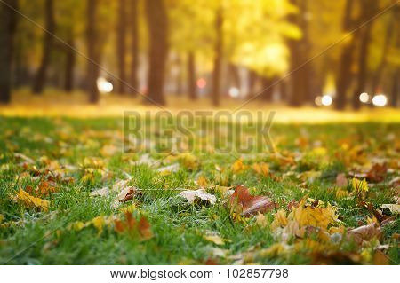 bright autumn maple leaves on grass