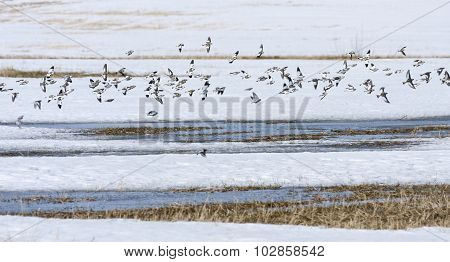 Snow bunting rest on a field, bird migration.