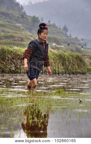Chinese Peasant Girl Walking Barefoot Through Mud Of Rice Fields.