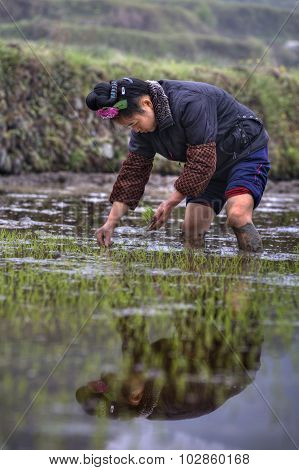 Chinese Farmer Girl Transplanting Rice Seedlings Into The Rice Paddy.