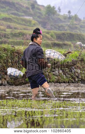 Young Chinese Woman Farmer Standing Knee-deep In Mud, Rice Field.