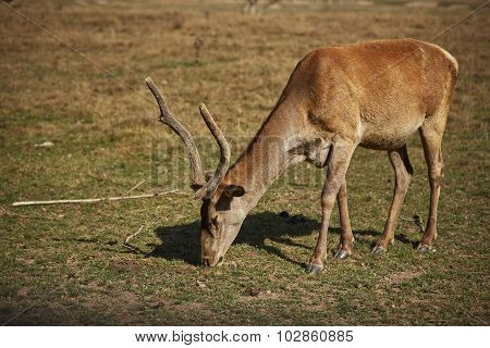 Grazing Red Deer Hart