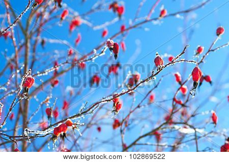 Red Berries Of A Rose-hip In The Winter In Snow