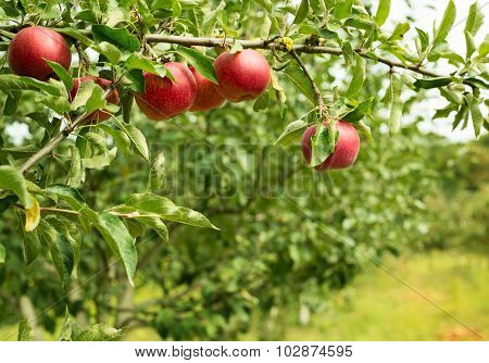 Appled