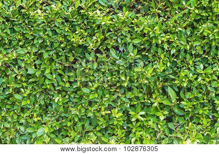 Green leaves wall patten