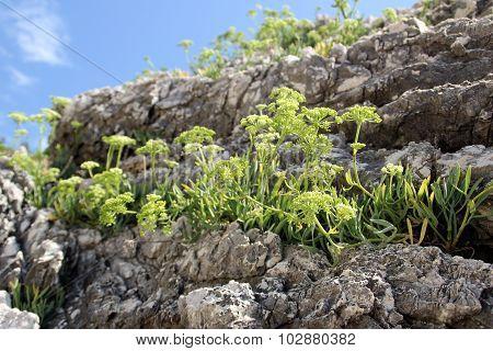 Mountainous plants