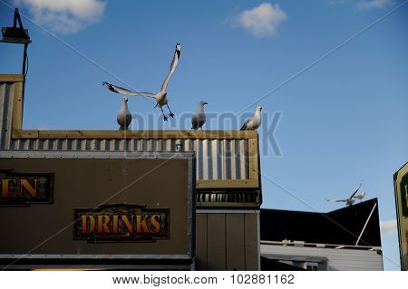 Sea gulls roosting on a roof with one flying up