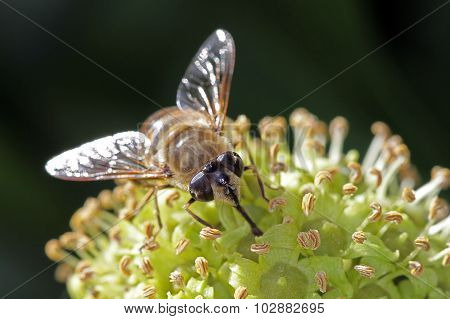 Fly Feeding On An Ivy Flower.