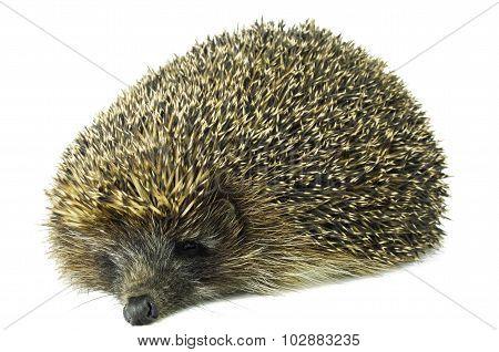 Lazy Hedgehog Isolated On White
