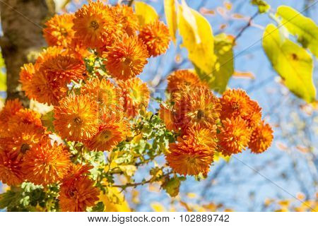 Bouquet Of Orange Chrysanthemums On Autumn Day