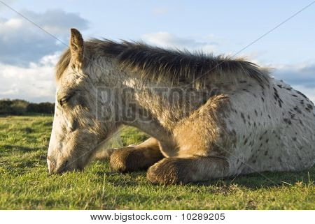 Beautiful appaloosa foal sleeping.