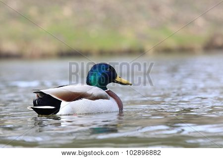 Male Of Wild Duck, Lat.  Anas Platyrhynchos, In The River