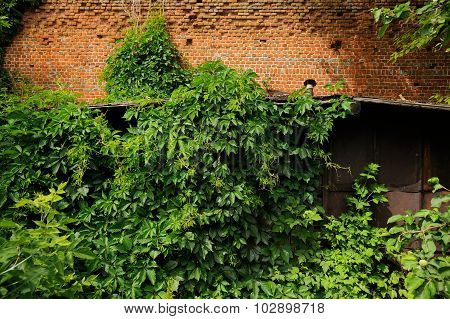 Dense Overgrowth Of Green Ivy On Old Brick Wall