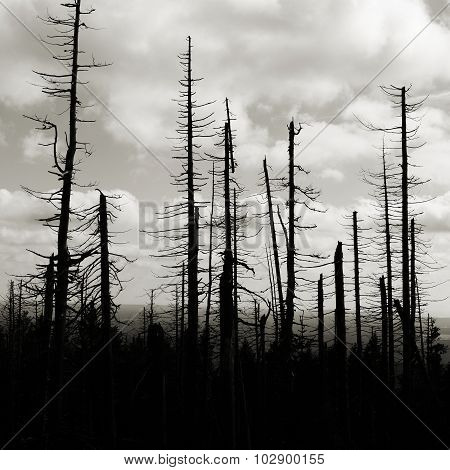 forest of dead trees