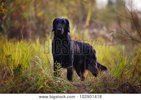 Black Retriever Stands Among Autumn Grass