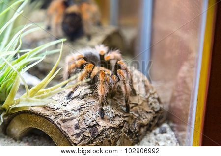 Tarantula On Tree Bark