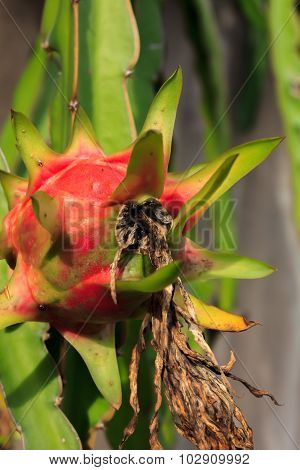 Selective Focus Dragon Fruit,trunk And Blur Background.