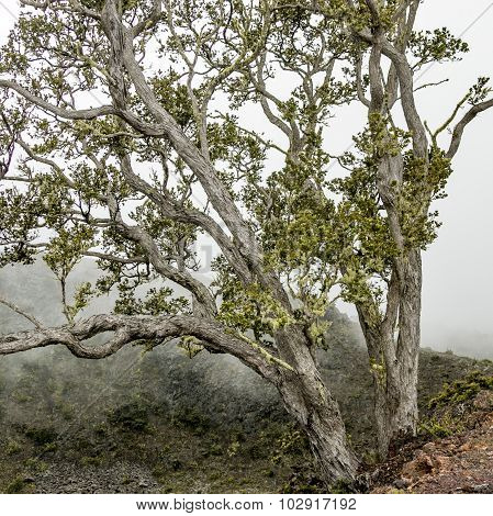 Foggy Landscape With Tree On The Mountains Of Hawaii