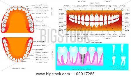 Anatomy Of Teeth