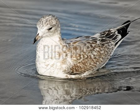 Juvenile Ring Billed Seagull swimming on calm waters