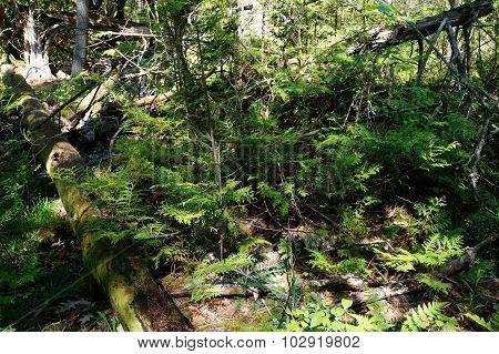White Cedar Saplings