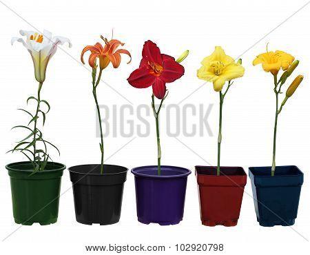 Lily Plant Pots