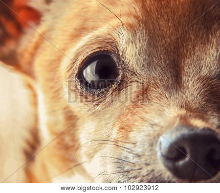 a cute senior chihuahua close up toned with a retro vintage instagram filter app or action