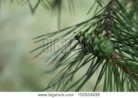 pinaceae, sunny, backdrop, background, beautiful, big, blue, bright, brown, closeup, colorful, cones, coniferae, coniferous, flora, forest, green, gymnospermae, kidneys, landscape, mugo, nature, needles, nobody, outdoor, outdoors, pine, pinus, plan, plant