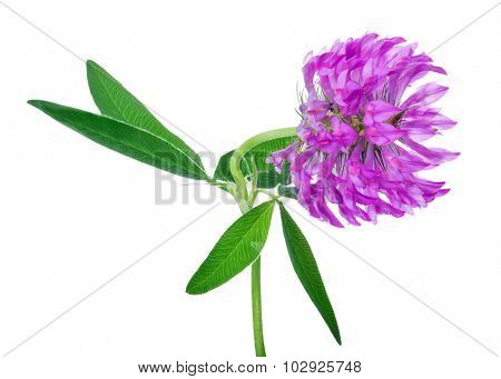 single clover flower isolated on white background
