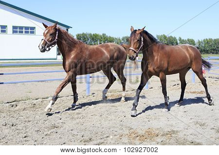 Beautiful filly Hanoverian and Trakehner breed