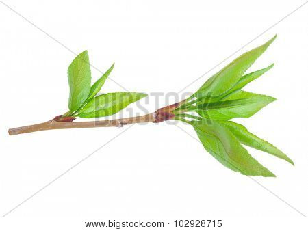 Young branch of a tree